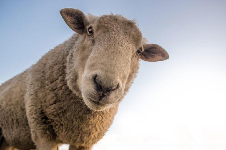 Wieder weiden Schafe im Naturschutzgebiet Twedter Feld