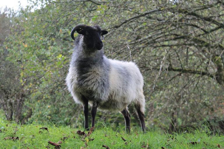 Die Schafe kommen wieder ins Naturschutzgebiet Twedter Feld